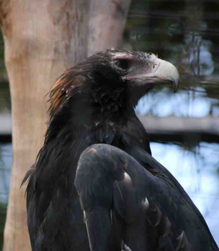 Wedge-Tailed Eagle
