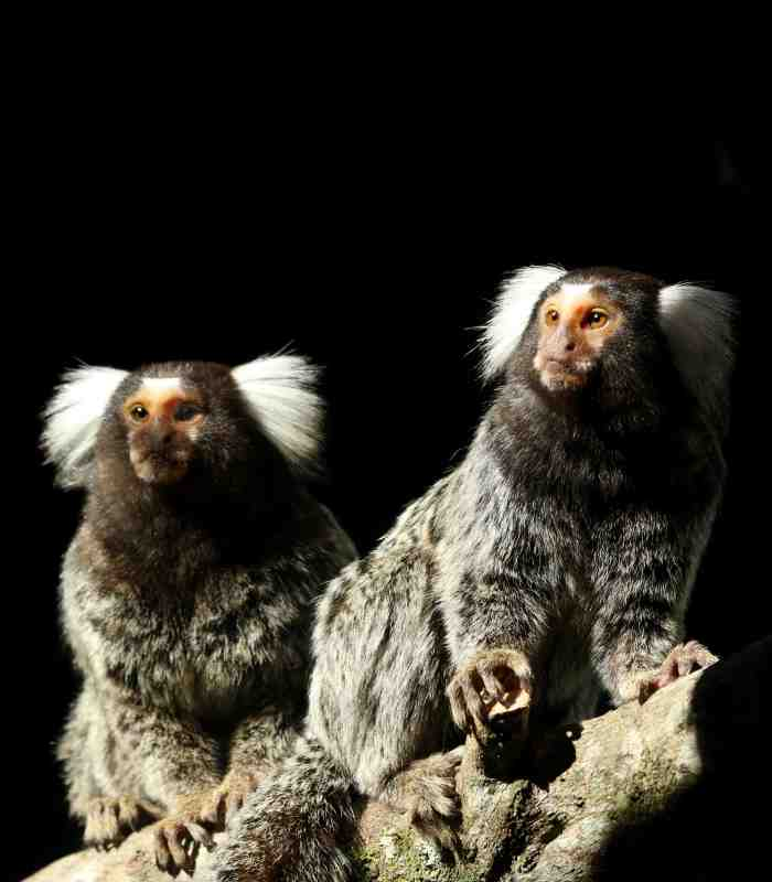 Common Marmosets