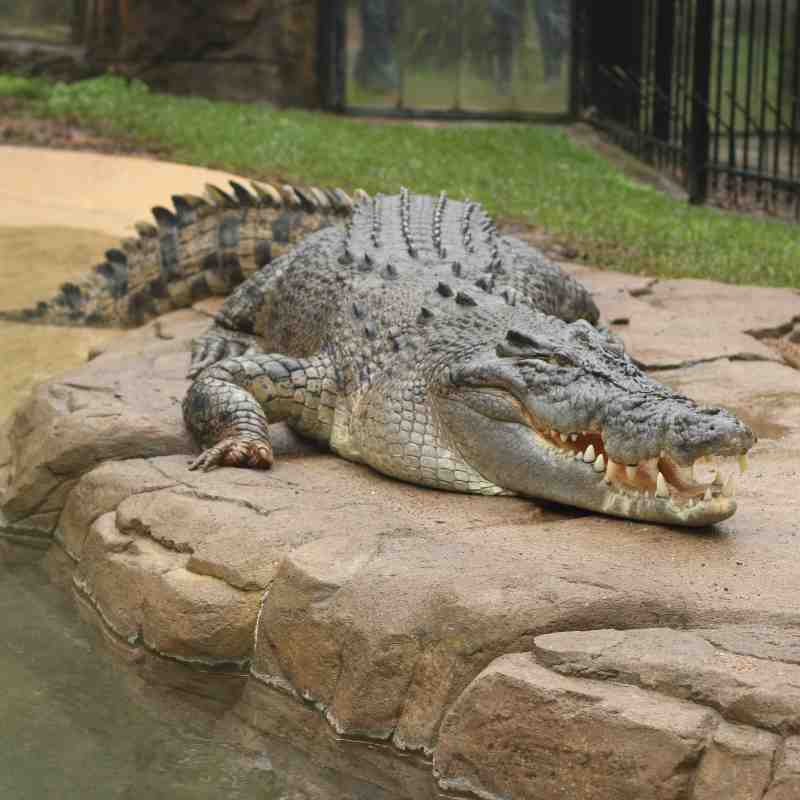 Saltwater Crocodile - Shrek